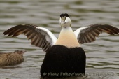 WildLife Photos of Common Eider, Somateria mollissima