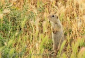 WildLife Photos of Souslik, Spermophilus citellus