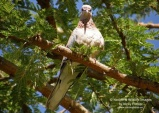 WildLife Photos of Laughing Dove, Streptopelia senegalensis