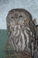 WildLife Photos of Tawny Owl, Strix aluco