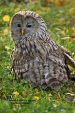 WildLife Photos of Ural Owl, Strix uralensis