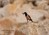 WildLife Photos of Birds, Crows, Starlings & others, Rose-colored Starling, Sturnus roseus