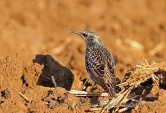 WildLife Photos of Birds, Crows, Starlings & others, Common Starling