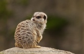 WildLife Photos of Meerkat, Suricata suricatta