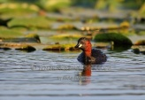 WildLife Photos of Birds, Divers & Grebes, Little Grebe, Tachybaptus ruficollis