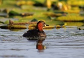 WildLife Photos of Little Grebe, Tachybaptus ruficollis