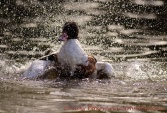 WildLife Photos of Common Shelduck, Tadorna tadorna