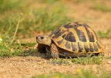 WildLife Photos of Spur-thighed Tortoise, Testudo graeca