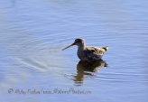 WildLife Photos of Spotted Redshank, Tringa erythropus