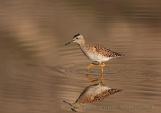 WildLife Photos of Wood Sandpiper, Tringa glareola