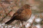 WildLife Photos of Blackbird, Turdus merula