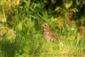 WildLife Photos of Song Thrush, Turdus philomelos