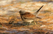 WildLife Photos of Fieldfare, Turdus pilaris