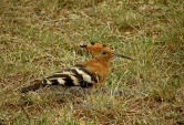 WildLife Photos of African Hoopoe, Upupa africana