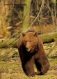 WildLife Photos of Mammals, Carnivores, Brown Bear, Ursus arctos