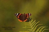 WildLife Photos of Red admiral, Vanessa atalanta