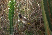 WildLife Photos of Dark-capped Bulbul, Pycnonotus tricolor