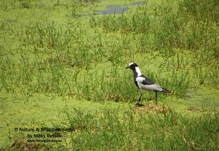WildLife Photos of Birds, Waders, Blacksmith Lapwing, Vanellus armatus